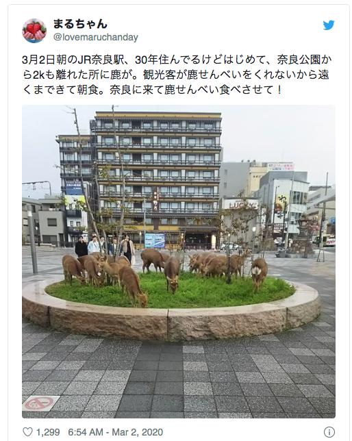 cervosdenara - Redução de turistas em Nara faz veados saírem às ruas atrás de alimento